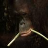 Sepilok Pusat Pemulihan Orangutan